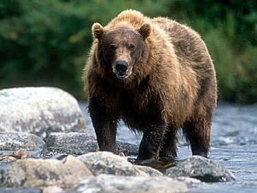 Grizzly Bear In Alaska
